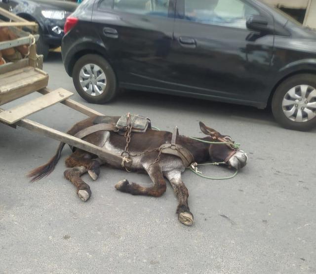 Jumento que puxava carroça não aguenta peso e desmaia em via pública, em Santa Cruz do Capibaribe
