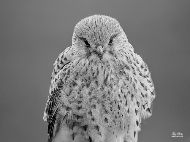 Female Common Kestrel Monochrome Portrait