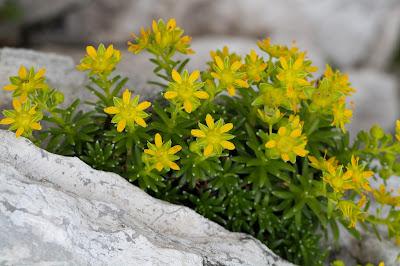 Saxifraga aizoides – Yellow Saxifrage (Sassifraga gialla)