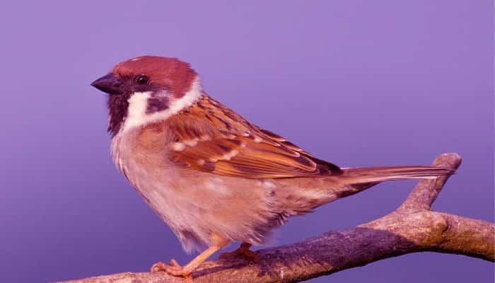Burung Emprit