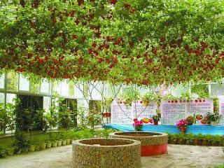 Tampak Lebih Dekat Pohon Tomat Gurita Yang Ajaib