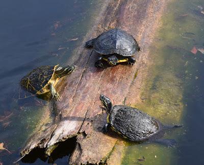 Memelihara kura-kura air tawar