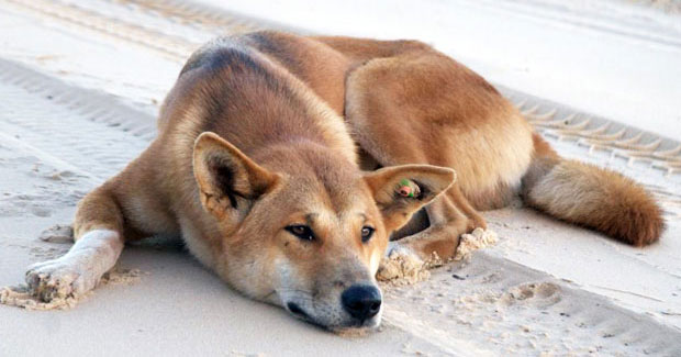Dingoes skilled at reading human gestures