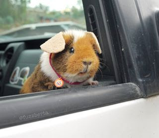Teddy Guinea Pig information
