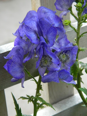 Leslieville Toronto Monkshood Aconitum fall flowers by Paul Jung Gardening Services