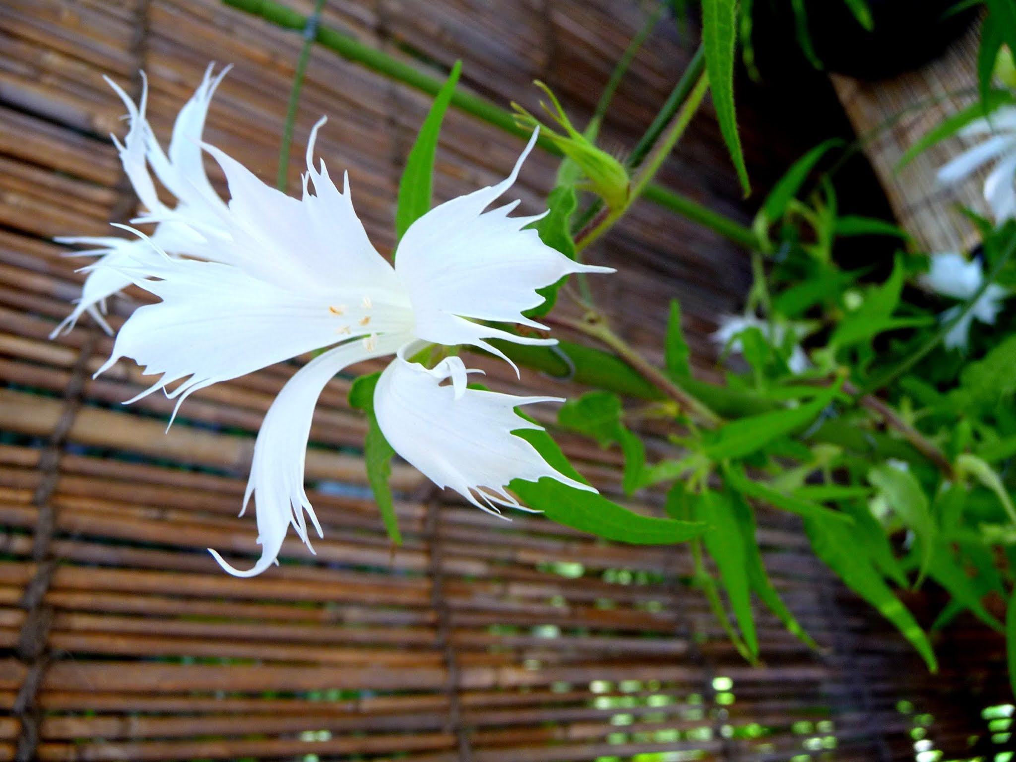 朝顔、アサガオ、あさがお、花、夏,Morning glory, flower, summer