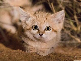 Mengenal Kucing Gurun yang Lucu