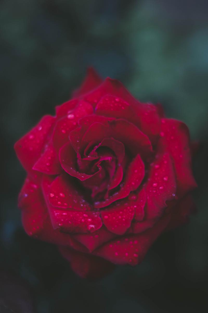 صور خلفيات ورد احمر جميله للموبايل