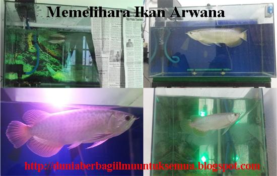 Tips Memelihara Ikan Arwana Untuk Pemula Tempat Kita