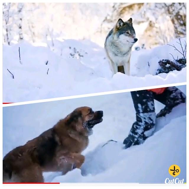 بھیڑیے اور انسان کی ایسی کہانی جو آپ کو آب دیدہ کر دے گی۔۔۔مزید پڑھیں