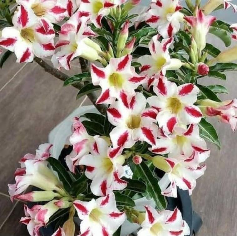 PROMO Bonsay pohon kamboja adenium cabang seribu bunga putih Pontianak