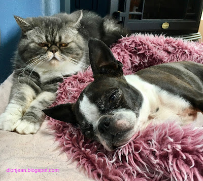 Popoki the cat and Sinead the Boston terrier