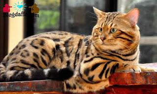 Kucing Bengal atau kucing mirip macan tutul