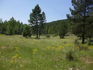 Pinares cerca del barranco de la Hontarla