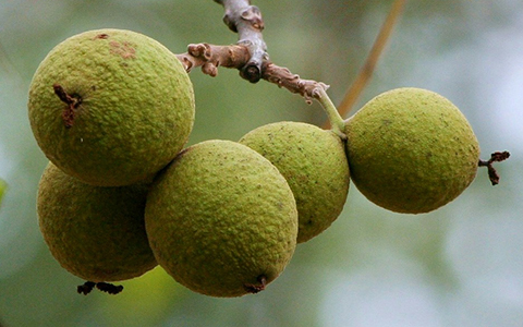 Black walnut fruit looks similar to the more common walnut but with some toxicity