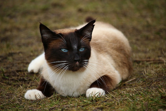 How Much Do Siamese Cats Cost?   Purr Craze 2021