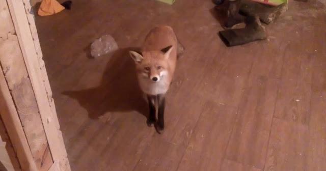 Голодный лис вновь пришел полакомиться к дому в Смоленске