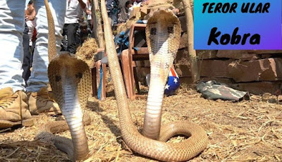 Mencari ular kobra di atas tumpukan jerami