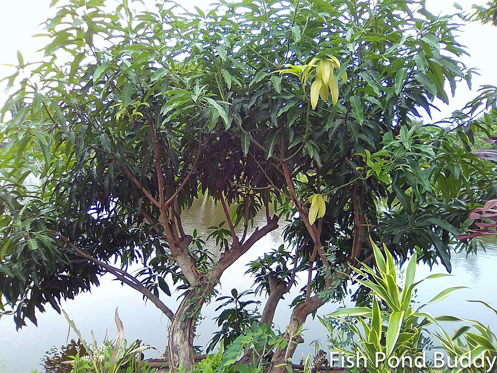 Fish pond buddy common medicinal plants fruits trees in for Fish branch tree farm