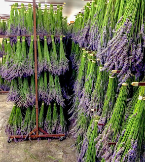 Drying Lavender Bunches at Pelindaba Lavender Farm