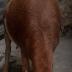 Ko ka taba ganin akuya da aka haifa babu hanci ? (Hotuna)