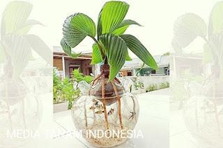 cara merawat bonsai kelapa