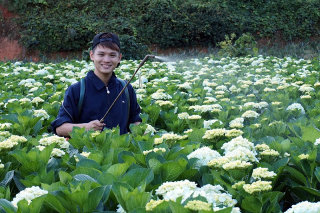 Discovering hydrangeas field in Da Lat 6