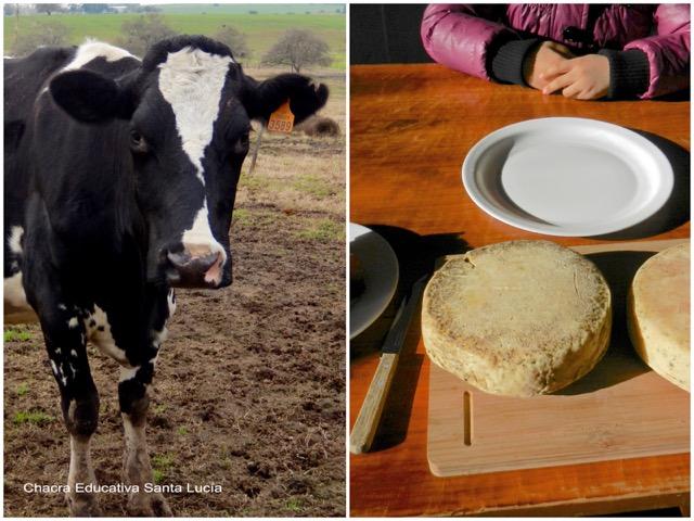Vaca en el tambo y queso elaborado en la Chacra - Chacra Educativa Santa Lucía
