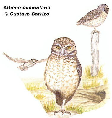 Lechucita de las vizcacheras Speotyto Athene cunicularia