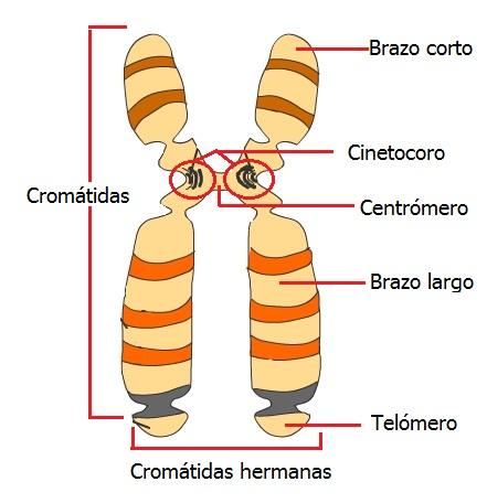 Biología Cromosomas