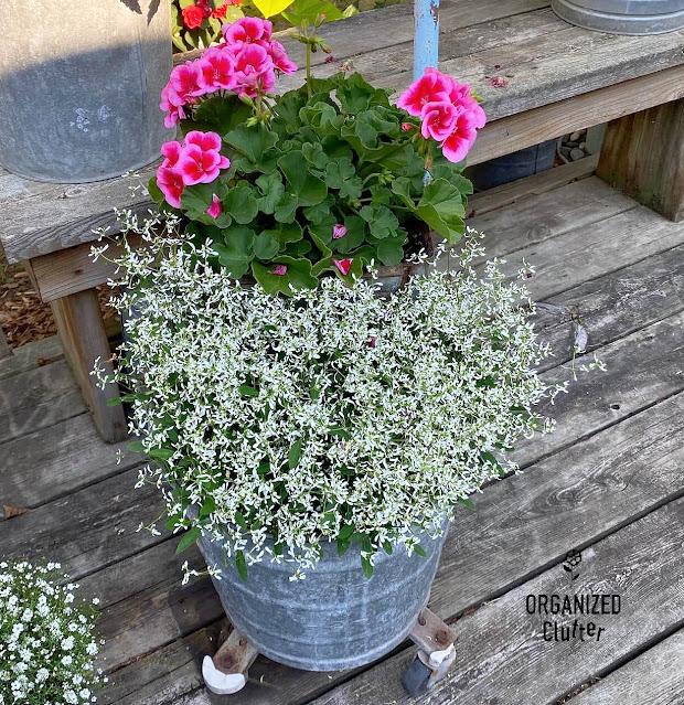 Photo of a scrub bucket with Diamond Frost Euphorbia & a Geranium