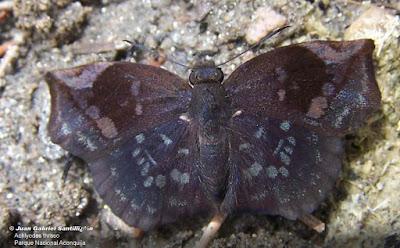 Mariposa saltarína negra (Achlyodes thraso)