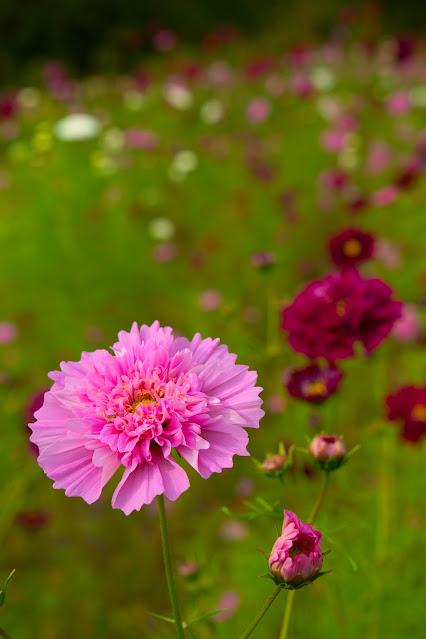 ピンクの八重咲きコスモス