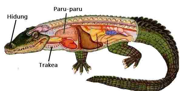 Pernapasan Reptil