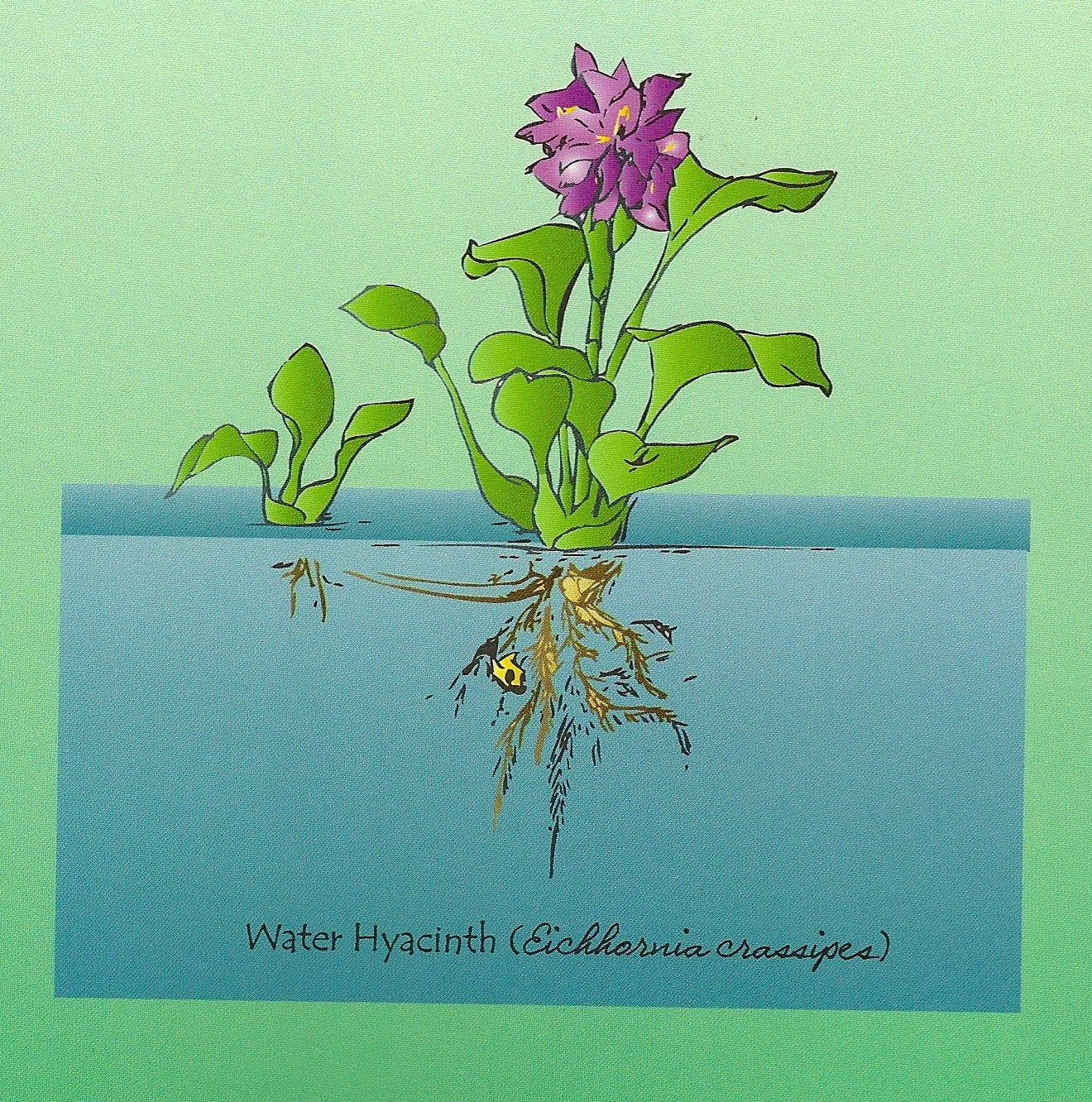 A Word's Worth: WATER HYACINTH – PLAGUE OR CLEAN-UP DETAIL?
