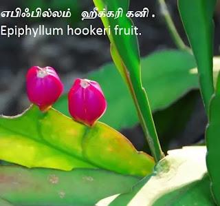 Epiphyllum hookeri fruit