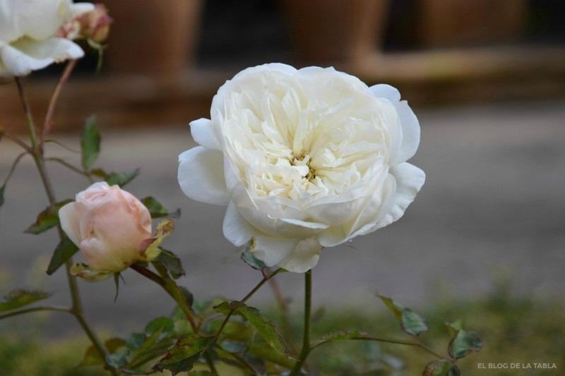 Rosa Gloire de Dijon