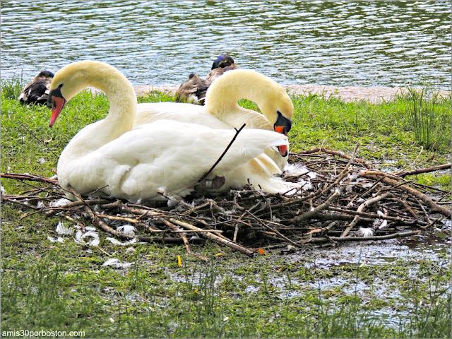 Cisnes Romeo y Julieta del Boston Public Garden
