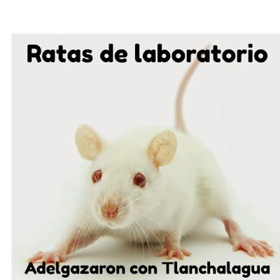 Ratas bajan de peso con Tlanchalagua