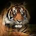 Babiat Sitelpang : Legenda Harimau Yang Mendapat Penghormatan Sangat Tinggi bagi Orang Batak.