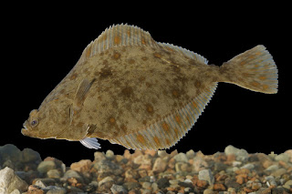 juvenile flounder