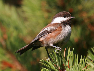 Photo of Chestnut-backed Chickadee in pine tree