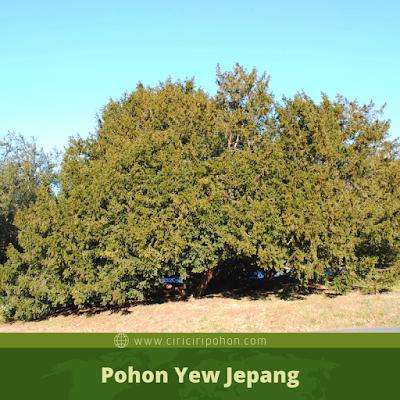 Ciri Ciri Pohon Yew Jepang