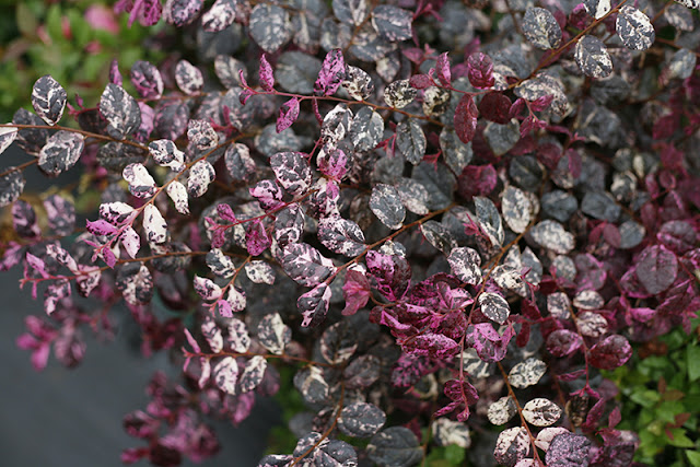 Jazz Hands Variegated Loropetalum from Proven Winners ColorChoice