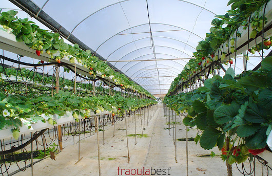 FraoulaBest Sytem in Greece (Pieria) | FraoulaBest© System (Hydroponic Strawberry)