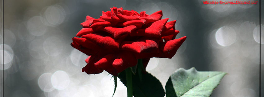 Dark Red Rose FB Cover