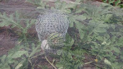 金網カゴで覆った大玉スイカ