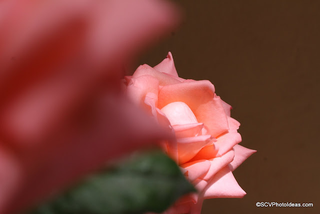 Second plane sun lighted rose