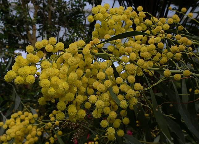 Blumensprache: Die Akazie