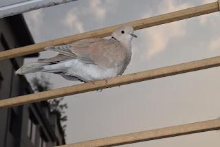 Ringed dove